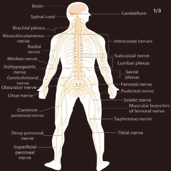 Nervous System.  A bright view of the Nervous System and also the Sympathetic and Parasympathetic N